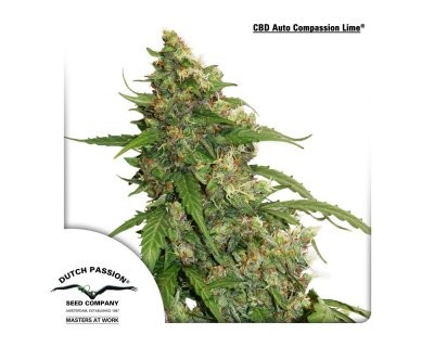 CBD Auto Compassion Lime (Dutch Passion) femminizzato