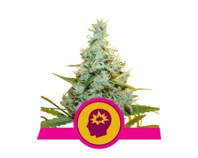 Amnesia Mac Ganja - AMG (Royal Queen Seeds) gefeminiseerd
