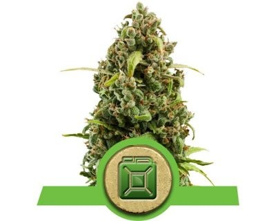Diesel Automatic (Royal Queen Seeds) gefeminiseerd