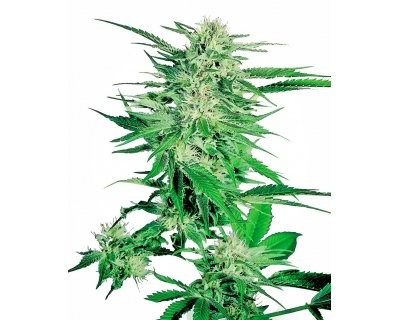 Big Bud (Sensi Seeds) feminized