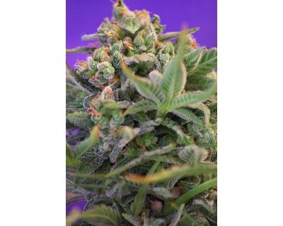 Sweet Cheese (Sweet Seeds) feminized