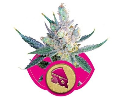 Royal Cheese Fast (Royal Queen Seeds) gefeminiseerd