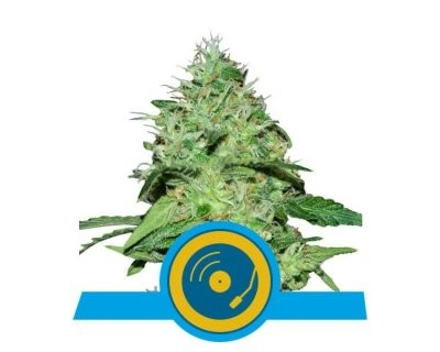 Joanne's CBD (Royal Queen Seeds) feminizada
