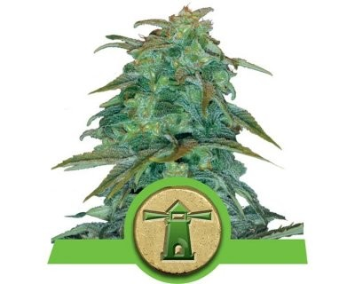 Royal Haze Auto-floreciente (Royal Queen Seeds) feminizadas