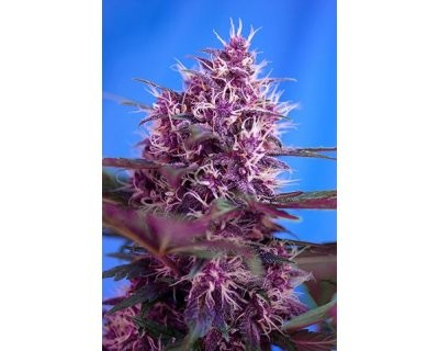 Red Poison (Sweet Seeds) feminized
