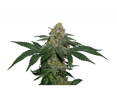 Grandaddy Confidential Kush (Seedstockers) feminized
