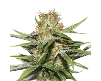 CBD Critical XXL (Seedstockers) feminized