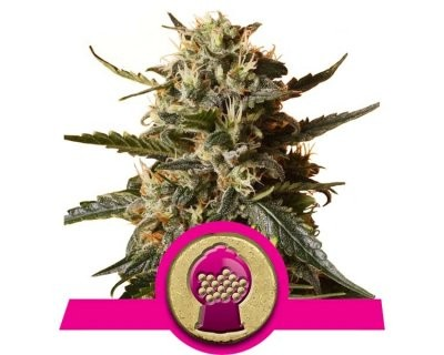 Bubblegum XL (Royal Queen Seeds) gefeminiseerd