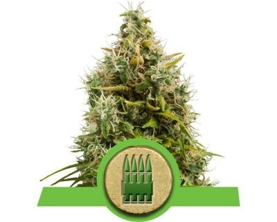 Royal AK Auto-floreciente (Royal Queen Seeds) feminizadas
