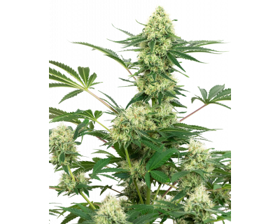 Wedding Cheesecake (White Label) feminized