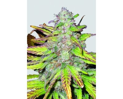 Blackberry (Nirvana) feminized