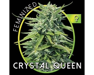 Crystal Queen (Vision Seeds) gefeminiseerd