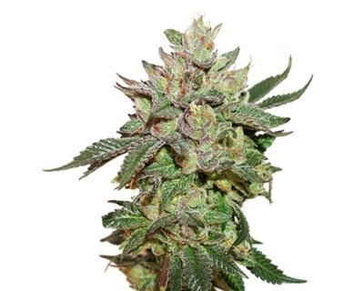Wedding Cake (Seedstockers) feminized
