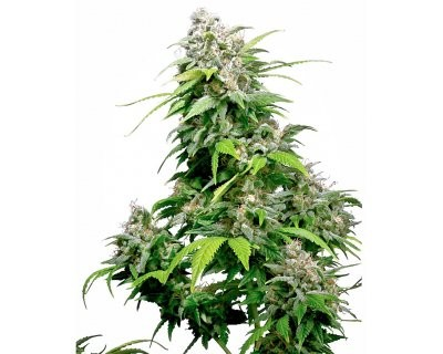 California Indica (Sensi Seeds) feminized
