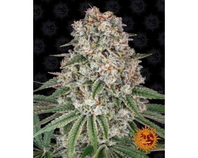 Tropicanna Banana (Barney's Farm) feminized