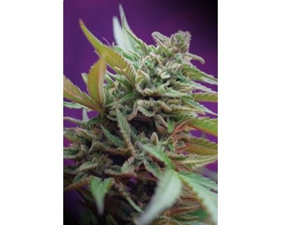 Black Jack Auto (Sweet Seeds) feminized