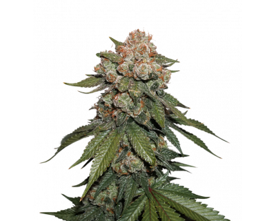 Maple Sherbet (Seedstockers) feminized