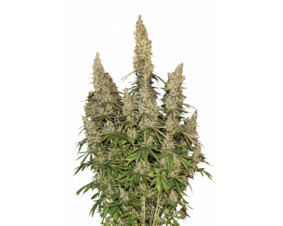 White Widow Auto (Seedstockers) feminized