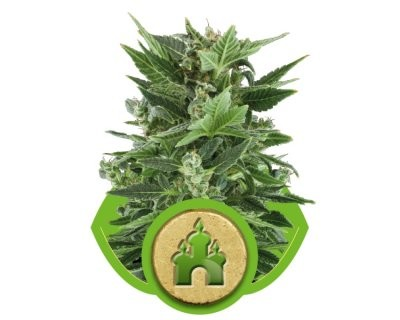Royal Kush Automatic (Royal Queen Seeds) gefeminiseerd