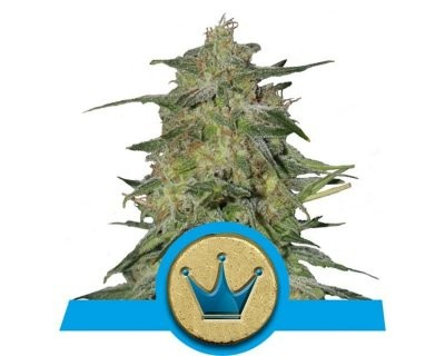 Royal Highness (Royal Quenn Seeds) femminilizzato