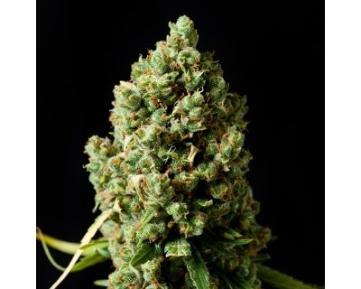 Critical Kush (Barney's Farm) feminized