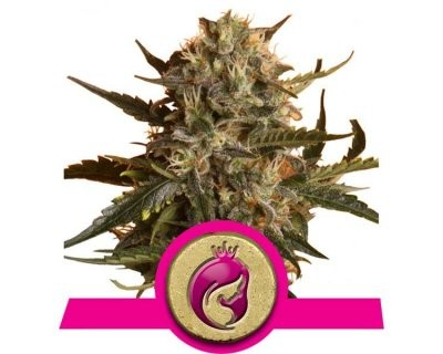 Mother Gorilla (Royal Queen Seeds) feminized