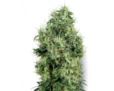 White Gold (White Label) feminized