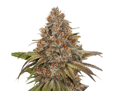 Blackberry Gum Auto (Seedstockers) gefeminiseerd