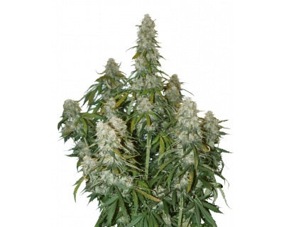 Big Bud Auto (Seedstockers) gefeminiseerd