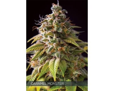 Caramel Monster (Vision Seeds) feminized