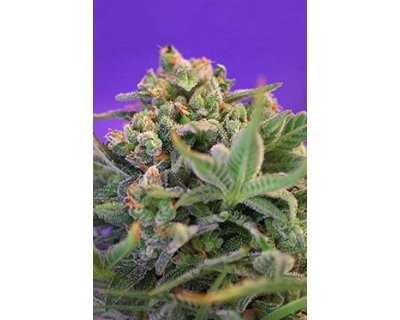 Sweet Cheese F1 Fast Version (Sweet Seeds) feminized