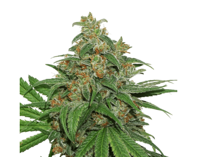 AK420 Auto (Seedstockers) feminized