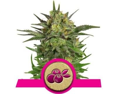 Haze Berry (Royal Queen Seeds) féminisée
