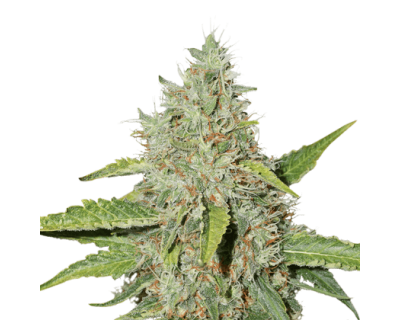 Northern Lights Auto (Seedstockers) feminized