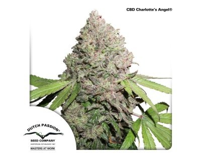 CBD Charlotte's Angel (Dutch Passion) gefeminiseerd