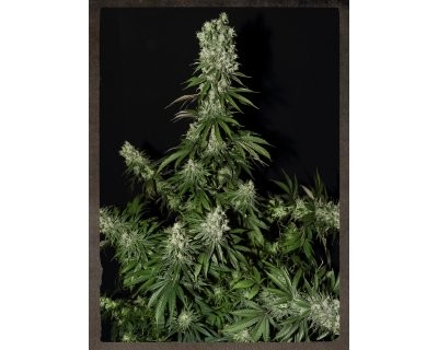 White Strawberry Skunk (Strain Hunters) feminizada