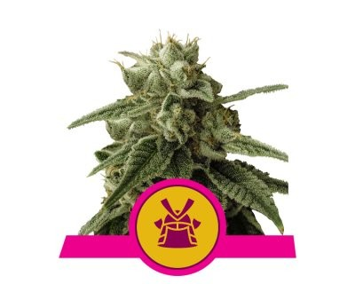 Shogun (Royal Queen Seeds) feminized