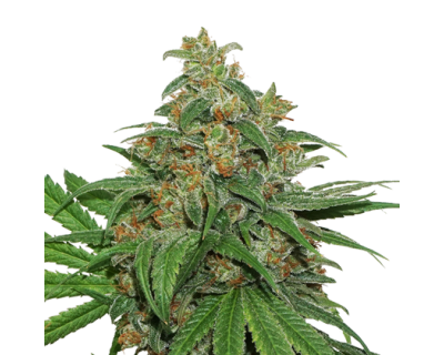AK420 (Seedstockers) feminized