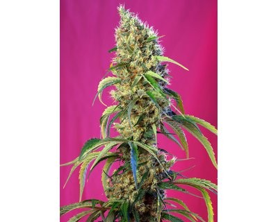 Black Jack CBD (Sweet Seeds) feminisiert