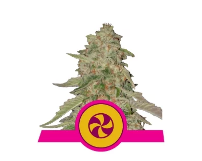 Sweet ZZ (Royal Queen Seeds) gefeminiseerd