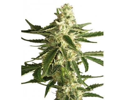 White Diesel Haze Automatic (White Label)