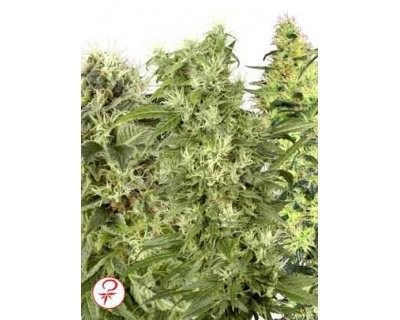 Female Mix (White Label) feminized