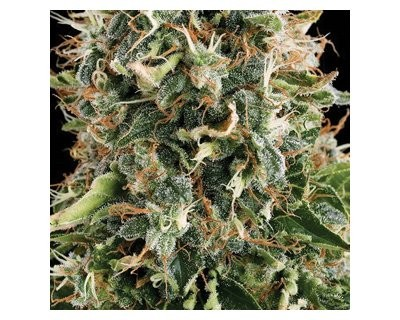 White Widow (Vision Seeds) feminized