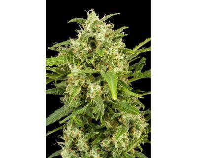 Critical+ Automatic (Dinafem) feminized