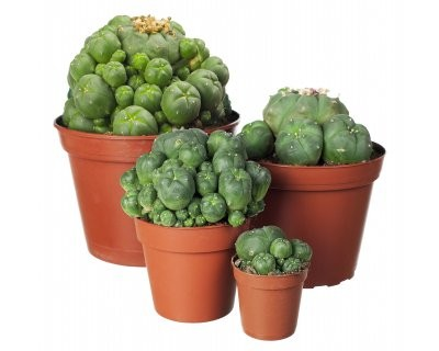 Peyote (Lophophora williamsii) cactus cluster