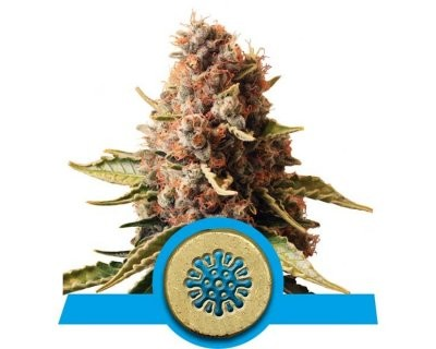 Euphoria (Royal Queen Seeds) feminized