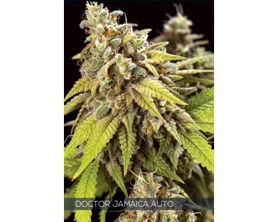 Doctor Jamaica Auto (Vision Seeds)