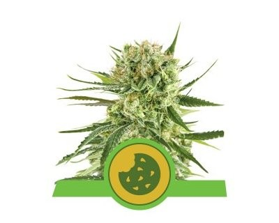 Royal Cookies Automatic (Royal Queen Seeds) feminizadas