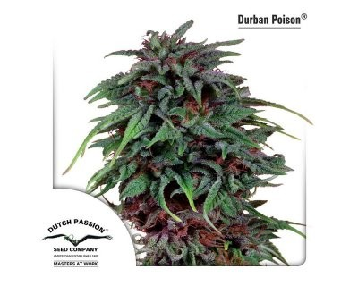 Durban Poison (Dutch Passion) gefeminiseerd