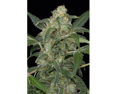 Haze 2.0 Automatic (Dinafem) feminized